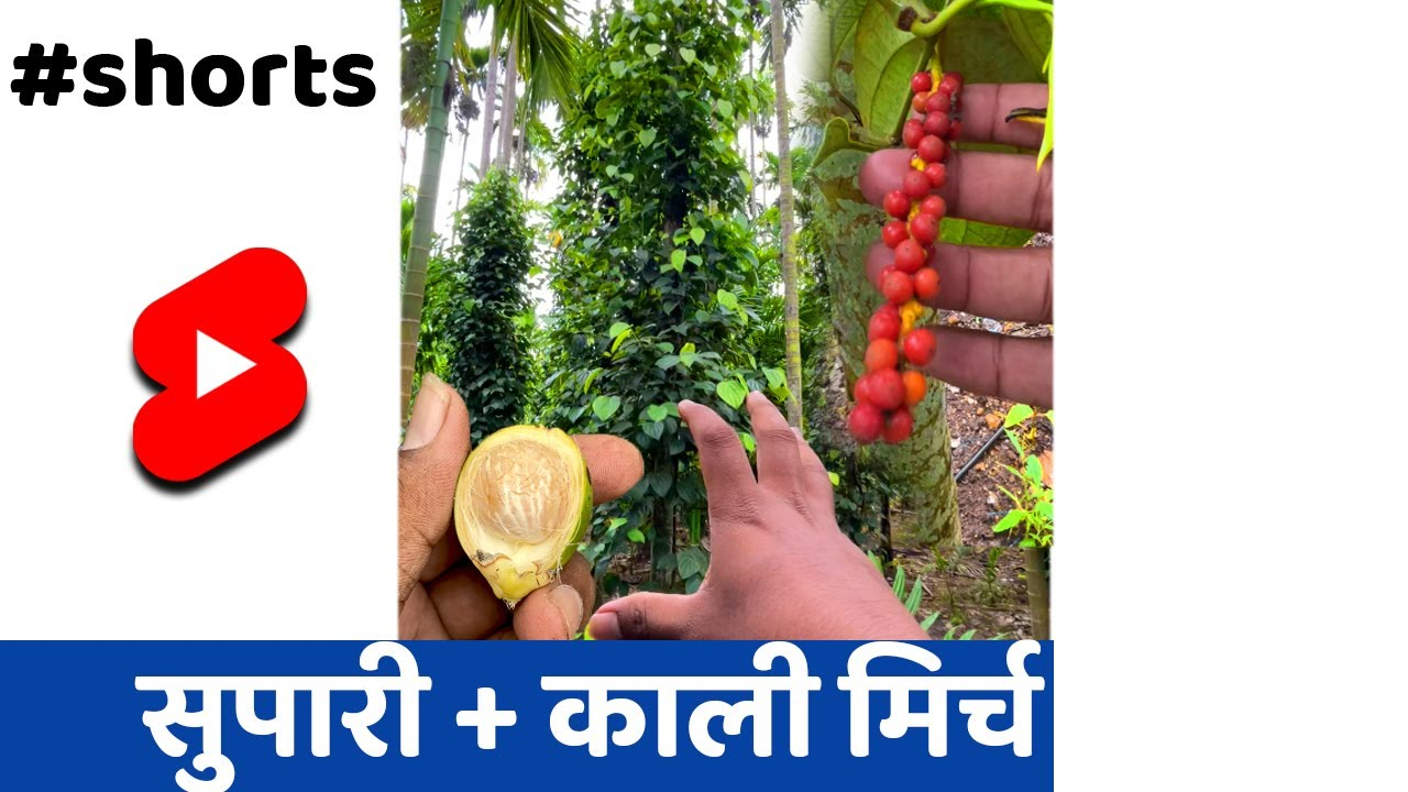 100 साल वाली खेती वो भी इंटरक्रॉपिंग🌱👌 #SHORTS #KISAN #INDIANFARMER