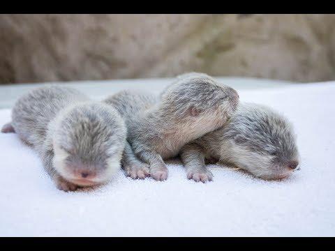 Otter Pups - SANTA BARBARA ZOO