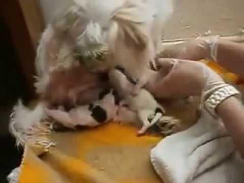Terrier Cinsi Köpek Doğum Videosu-Köpek Yavruluyor.