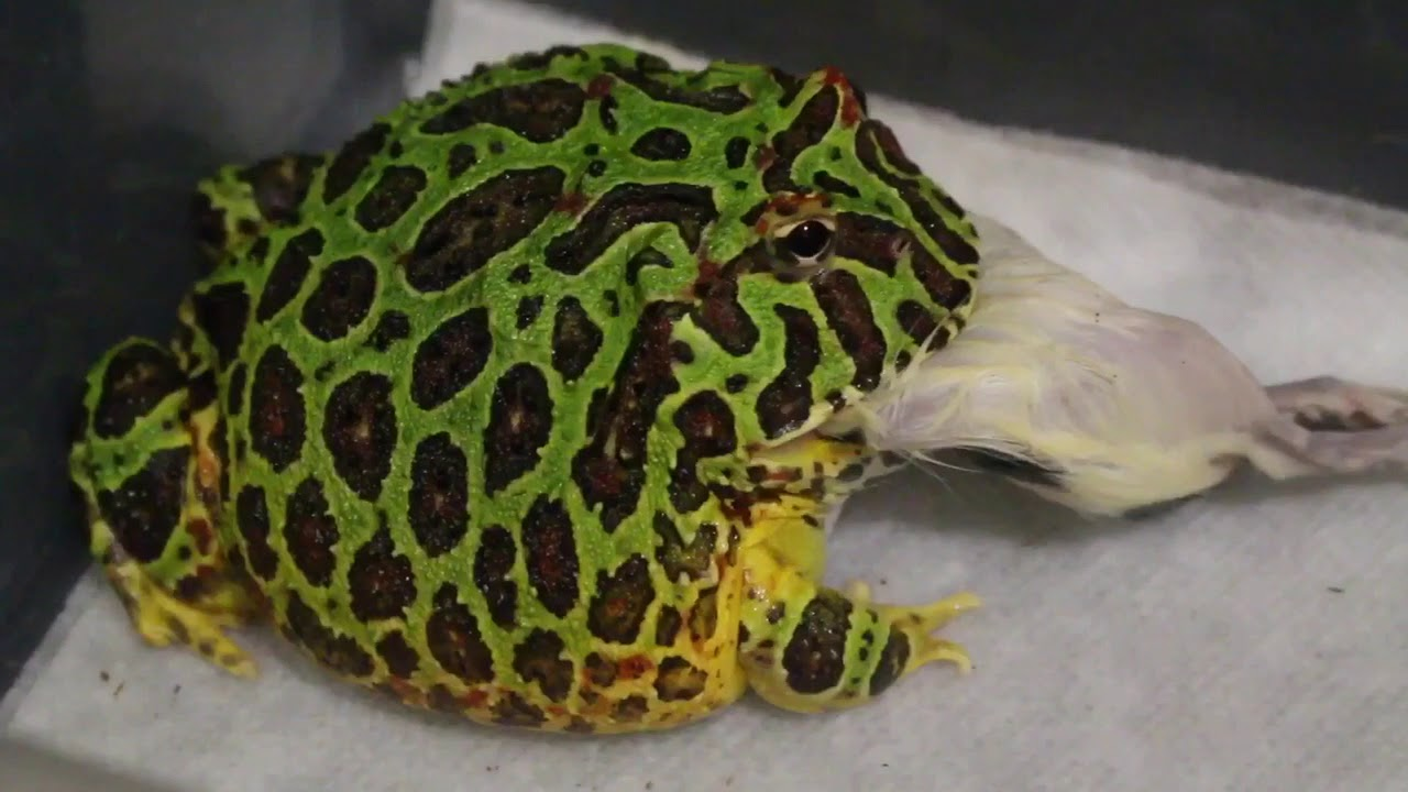 Ornate Pacman Frog Eats A Rat Youtube