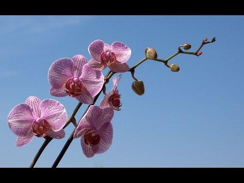 orquideas como evitar caida de flores,capullos o botones