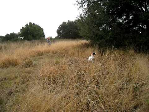 English pointers hunt for bob white quail