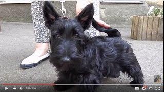 ШАРМИ - ЩЕНОК КОНФЕТКА. Скотч-терьер 3 мес.Scottish Terrier.Odessa.