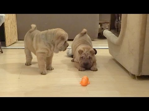 Shar Pei Puppies are Surprised by Giant Mechanical Ant