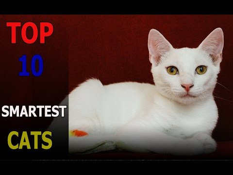 Top 10 smartest cat breeds | Top 10 animals