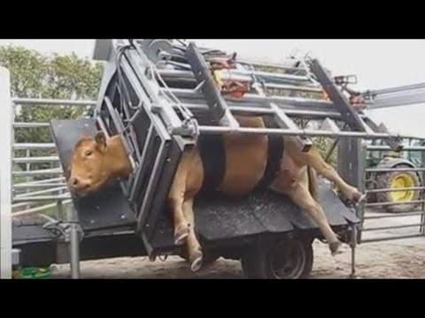 Amazing Engineering WorldWide World Modern Technology Automatic Cow Shoeing and Cleaning Hoof Mega