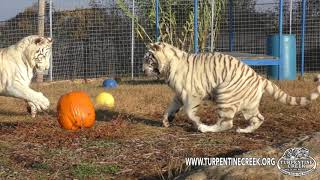 Tanya and Kizmin playing with pumpkins