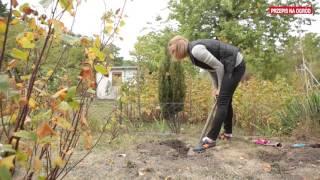 Jak sadzić krzewy owocowe