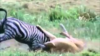 شاهد بالفيديو..أقوى هجمات الحيوانات المفترسة - Top Most Amazing Animal Attacks