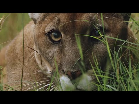 How Jogger Strangled Mountain Lion Mp3