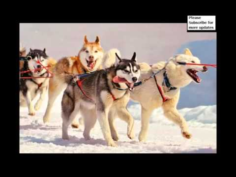 Types Of Husky Dogs Collection Of Pictures | Types Of Husky Dogs