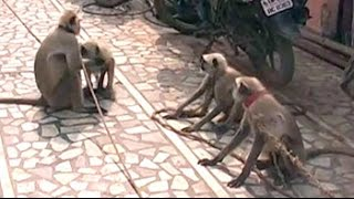 Among Presidential guard in Vrindavan, there could be 10 langurs. Here