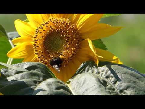 Bumblebee on Sunflower クロマルハナバチ♀が向日葵の花で採餌