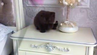 Британские котята, редких окрасов.