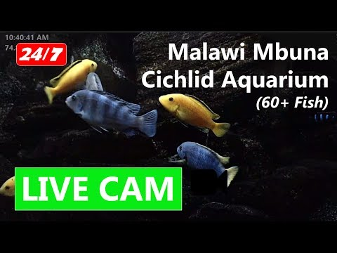 24/7 Real Life Aquarium Screensaver - Freshwater African Mal