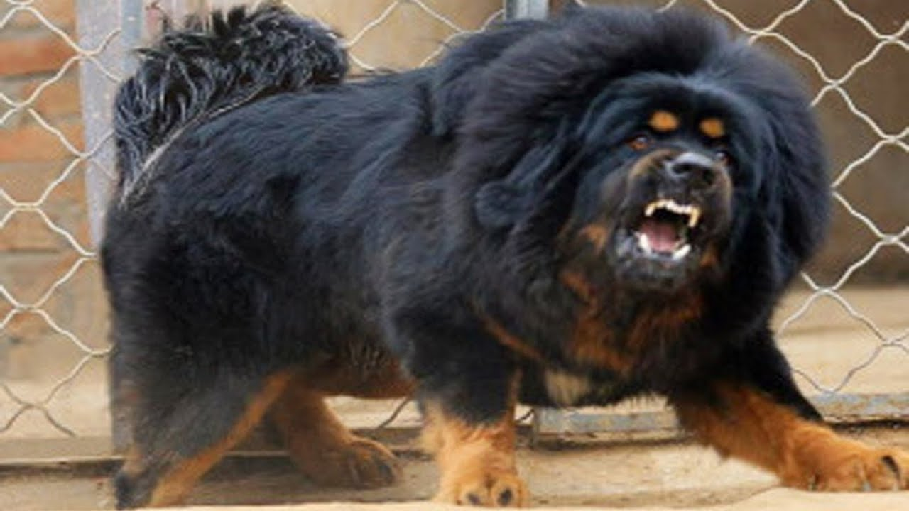 Tibetan dogs look like lions