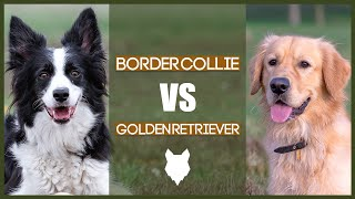 BORDER COLLIE VS GOLDEN RETRIEVER