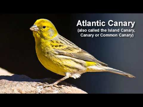 Canary Bird Call - singing Canary