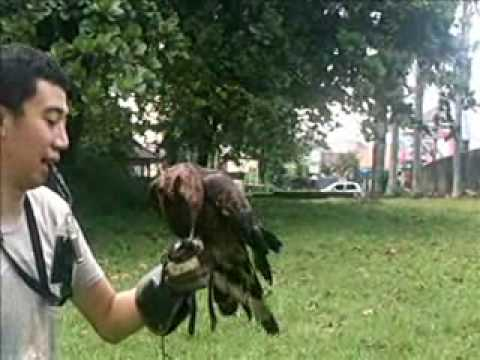 Indonesian Falconry - Crested Honey Buzzard