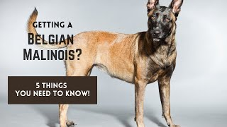Belgian Malinois: How to Get Started