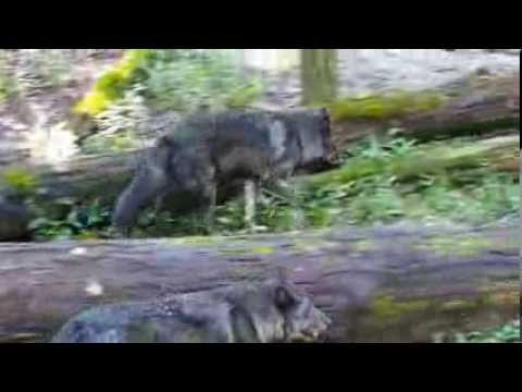 Bays Mountain Wolves Hunt a Chipmunk