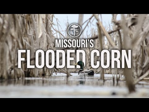 Duck Hunting- Flooded Corn In Missouri