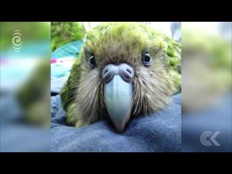 Kakapo breeding season off to a great start: RNZ Checkpoint