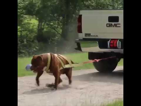 Giant Pit bull Hulk pulling 6500lbs TRUCK!
