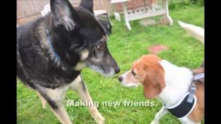 Beagle Freedom Project - East Coast Rescue #1