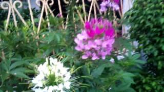 cleome flower 2012