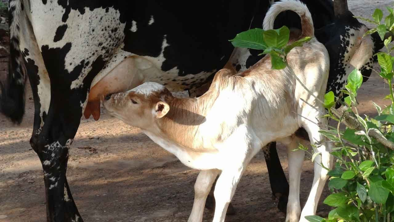Cow Feeding Calf To Drink her Milk - Cow Videos For Children