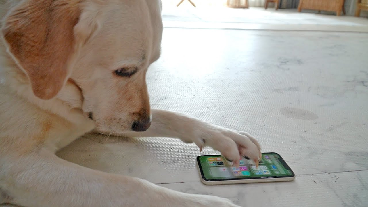 스마트폰 사용할줄 아는 강아지