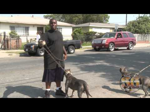 Gotti line and Rat Tail Blue line Pit Bulls in MOB Piru turf in Compton