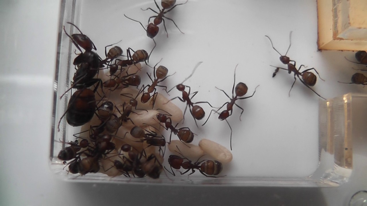 Newly Laid Ant Eggs - YouTube Queen Ant Laying Eggs