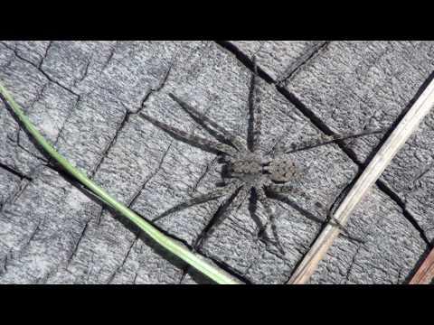Thin-legged Wolf Spider (Lycosidae) on Log