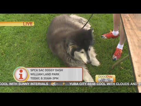 SPCA Sac Doggie Dash
