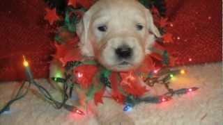 Golden Retriever Puppies Christmas - Marcysgoldens.com