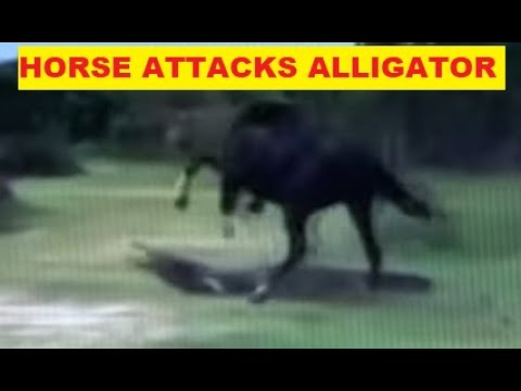Why Would A Horse Attack An Alligator For Apparently No Reason - Horse Herd Behavior Explained