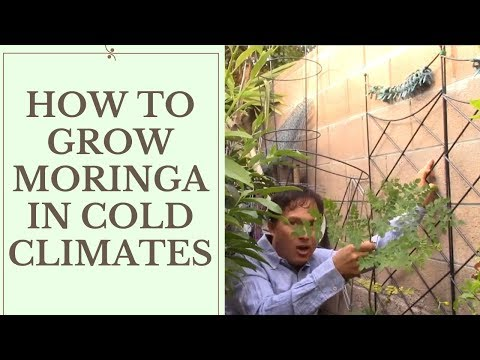 How to Grow Moringa in Cold Temperate Climates