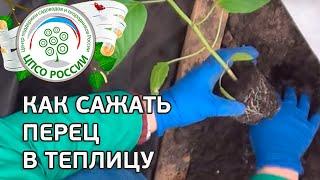 Как посадить перец в теплицу.(В этом ролике - видео-совет о том, как правильно провести посадку перца в теплице. Как посадить перец в грунт..., 2015-04-20T09:28:21.000Z)