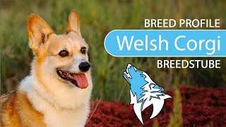 Welsh Corgi Breed, Temperament & Training