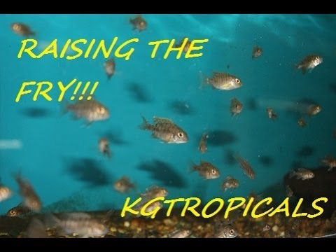 """How to breed African Cichlids Part 7 """"Raising the fry"""""""
