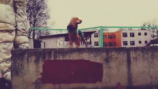 Собаки занимаются паркуром