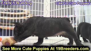 French Bulldog, Puppies, For, Sale, In, Columbus, Ohio, Oh, North Ridgeville, Mason, Bowling Green,