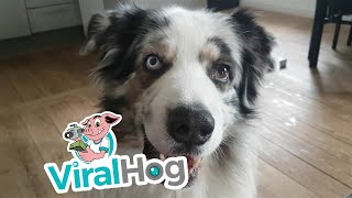 Dog Fetches the Kleenex || ViralHog