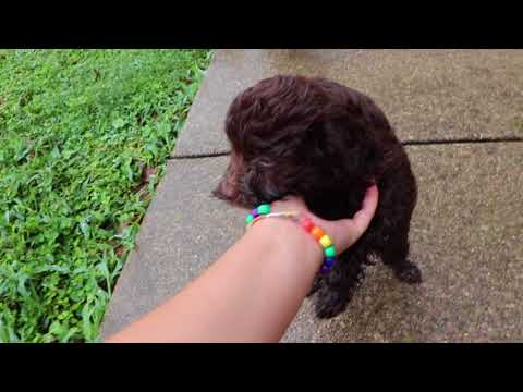 Gracie's AussieDoodle Puppies at 7 weeks old