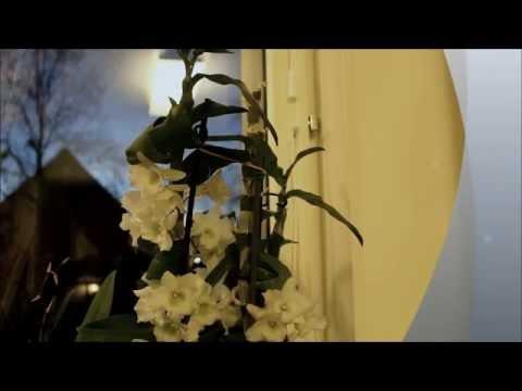 Как заставить цвести Дендробиум Нобиле. уход за орхидеями Dendrobium Nobile.
