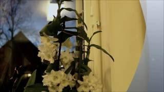 Как заставить цвести Дендробиум Нобиле. уход за орхидеями Dendrobium Nobile.(Продолжение жизни одной орхидеи https://www.youtube.com/watch?v=AV2VSxvNXwg., 2016-09-30T18:45:47.000Z)