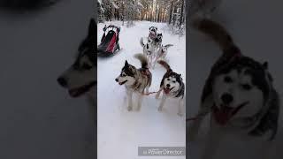 Однодневный ПВД на упряжка собак и нарты Шаман