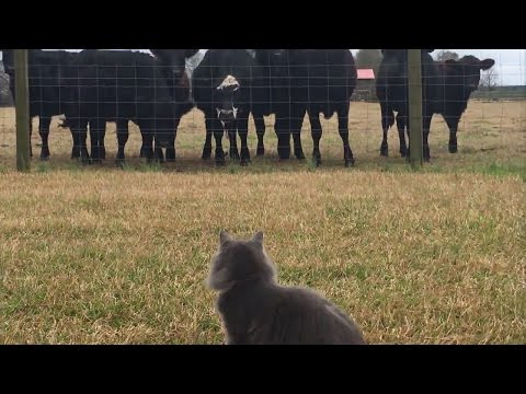 Crazy cat and dog attack cows